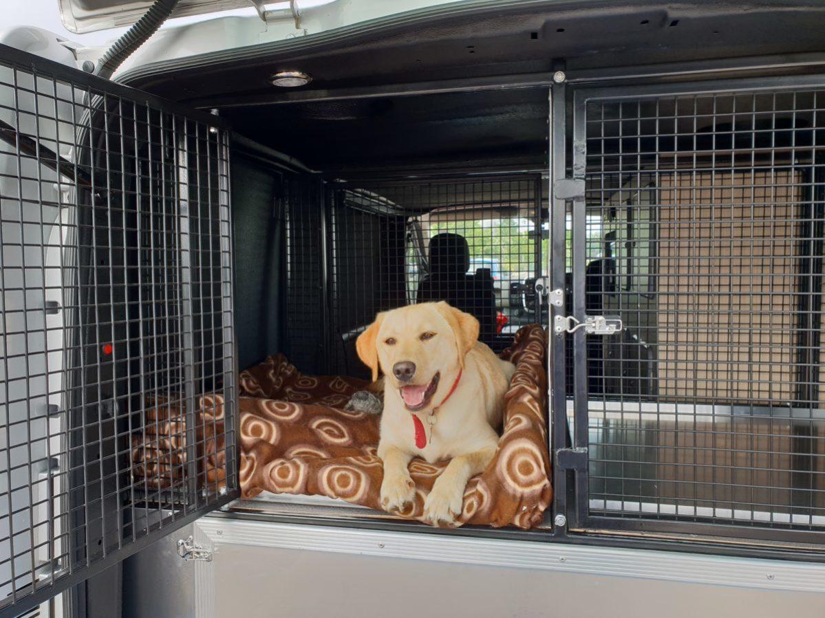 Yellow Labrador in Vantastec Dog Van